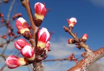 Blüten Wachau 14.4.2014 j