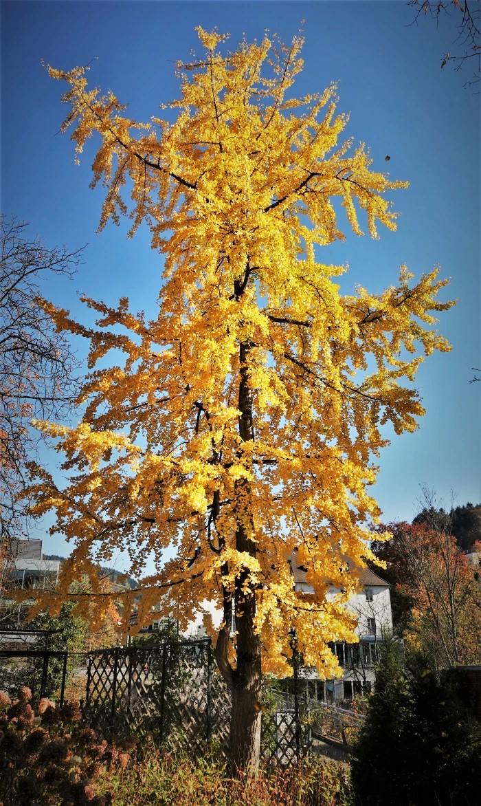 Ginkgo Baum im Herbst (3)